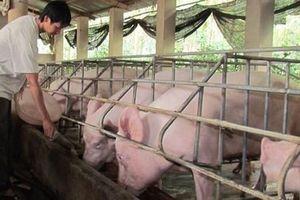Phí xét nghiệm kiểm dịch lợn bị phàn nàn 'quá cao'