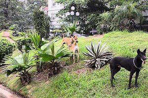 Chó thả rông chiếm vỉa hè, không gian công cộng ở Hà Nội