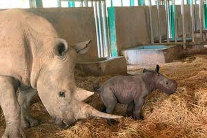 Tê giác con đầu tiên chào đời tại Vinpearl Safari Phú Quốc
