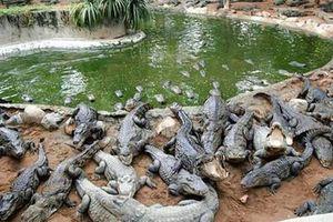 Hi hữu cá sấu chết thê thảm vì sốc... nhạc