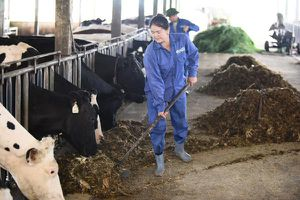 Nông dân làm chuyên gia bò sữa ở Mộc Châu