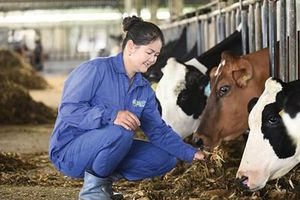 6 thập kỷ từ 'người tiên phong' đến 'chuyên gia bò sữa' của Mộc Châu