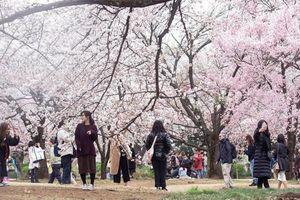 Hoa anh đào, ngành kinh doanh 'tỷ đô' của Nhật Bản