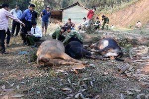 Hàng loạt trâu, bò ở Bắc Cạn chết bất thường