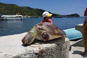 Ninh Thuận: Rùa Xanh nặng gần 20 kg bị cắt đứt lìa 2 vây chết trôi dạt trên biển