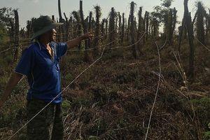 Doanh nghiệp lừa nông dân trồng chanh dây 'điếc': Dân mỏi mòn chờ đền bù