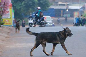 Chó thả rông, không rọ mõm vẫn 'tung hoành' ở Hà Nội