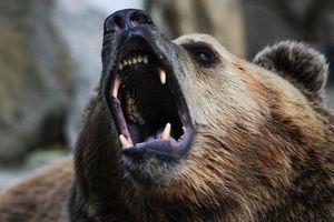 Cố cho gấu ăn trong sở thú, cô gái Nga mất cánh tay