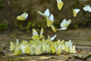 Đẹp ngỡ ngàng mùa bướm rừng Cúc Phương