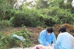 Thừa Thiên – Huế: Xuất hiện ổ dịch tả lợn Châu Phi thứ 3