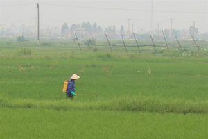 Nam Định: Hơn 2.000ha lúa nhiễm bệnh đạo ôn lá