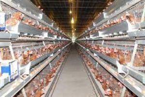 Thị trường ngành chăn nuôi gia cầm vẫn còn nhiều dư địa