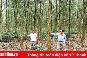Hiệu quả từ việc trồng rừng theo tiêu chuẩn quốc tế FSC ở Thạch Thành