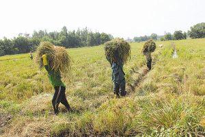 Sản xuất lúa ở ĐBSCL 'lạc đường' từ lúc nào?