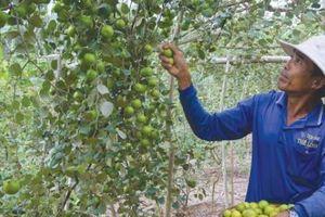 An Giang: Những cây táo thấp tè mà trái từ gốc tới ngọn