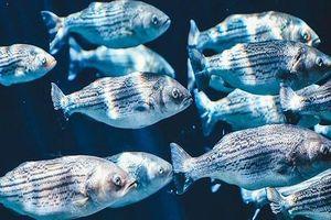 Phát hiện nguồn kháng sinh dồi dào trên... da cá