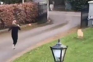 Cô gái bị dê mẹ dọa nạt khi đuổi theo dê con chụp ảnh