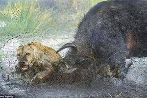 Săn trâu rừng, sư tử kém may trả giá bằng tính mạng