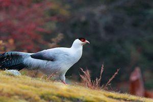 Bí mật ít ai hay loài chim có tài 'yêu' thiên hạ vô địch