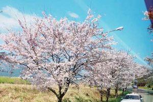 Đến Hàn Quốc ngắm hoa anh đào, như đi trong miền mơ