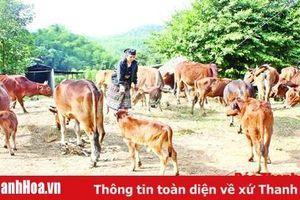 Chăn nuôi bò sinh sản ở Quan Sơn