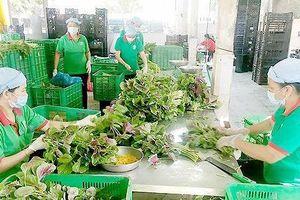 Chuyển giao kỹ thuật trồng rau ăn lá VietGAP
