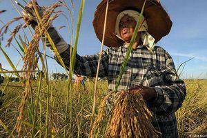 Khi hạt gạo 'khuynh đảo' chính trường Thái Lan