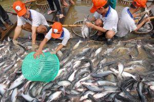 Giá cá tra đang hồi phục