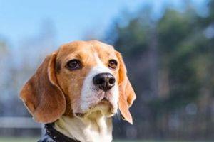 Nhờ có mũi siêu nhạy cảm, chó có thể phát hiện ung thư phổi trong máu chính xác tới 97%