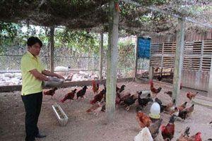 Quảng Nam: Xây nhà lầu cho gà ở, gà 'trả lễ' 200 triệu đồng/năm