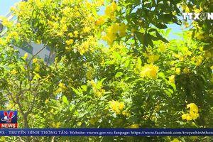 Đường phố Sài Gòn vàng rực sắc hoa