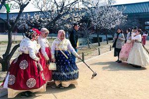Tháng 4 đi Hàn ngắm hoa anh đào đẹp ngất ngây