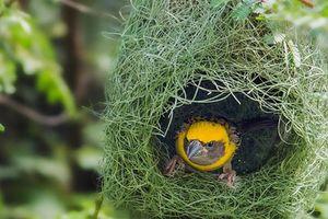 Khám phá 'choáng' loài chim khéo léo và chăm chỉ bậc nhất