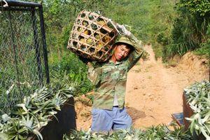 Nghệ An: Người trồng dứa 'méo mặt' vì giá bán quá rẻ