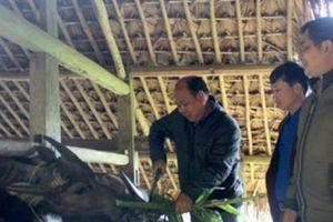 Hà Giang: Hết nghèo vì theo nghề...nuôi trâu