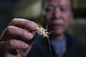 Người đàn ông Trung Quốc nuôi hàng triệu con gián làm mồi nhậu