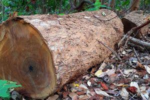 2 trạm bảo vệ rừng chốt 2 đầu, lâm tặc ngang nhiên phá rừng cổ thụ