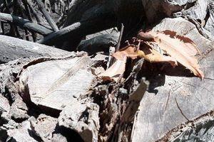 Rừng phòng hộ Long Thành: Bị tỉa 'quá tay' gần 2.000m3 gỗ