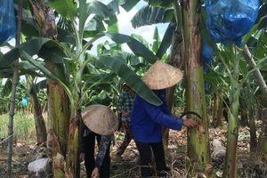 Trà Vinh: Nhiều 'vấn đề' trong vụ việc thu hồi đất trồng chuối cho thuê 50 năm