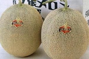 Trái cây Nhật Bản giá 'chát' vẫn được nhà giàu Việt ưa chuộng