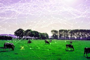 Dùng 5G để… vắt sữa bò
