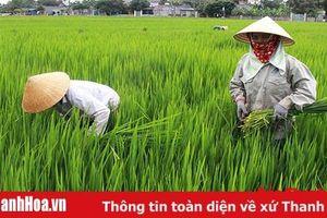 Huyện Quảng Xương phát triển hơn 1.000 ha lúa thương phẩm chất lượng cao