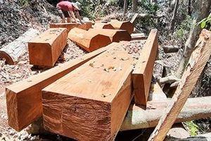 Ngang nhiên tàn phá rừng, kiểm lâm quản không xuể