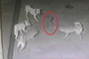 Đàn chó liều chết hiệp lực tấn công rắn hổ mang để bảo vệ chủ