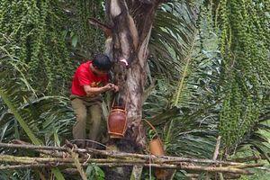 Lại ở Gia Lai: Loài cây trực tiếp cho rượu 'vạn người mê'