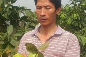 Ninh Bình: Dùng phế phẩm ủ nấm bón cho ổi, lãi 20 triệu mỗi tháng