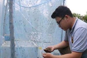Đắk Lắk: Cử nhân về quê nuôi... ruồi, lấy ruồi nuôi gà, nuôi lươn