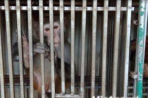 Cao Bằng thả hai cá thể khỉ mốc bị nuôi nhốt về môi trường tự nhiên