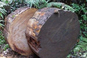 Khởi tố vụ án cây thông trăm năm tuổi bị cưa trộm ở Lâm Đồng