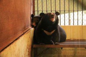 Cứu hộ hai cá thể gấu ngựa con tại rạp xiếc Trung ương Hà Nội